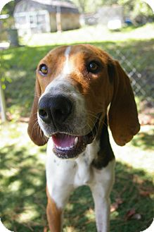 Treeing Walker Coonhound/Hound (Unknown Type) Mix Dog for adoption in Brooksville, Florida - Rigby
