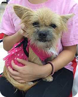 Shih Tzu/Chihuahua Mix Dog for adoption in Schertz, Texas - Sun JH