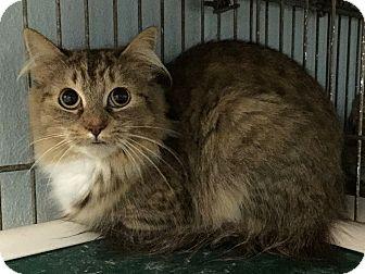Domestic Longhair Cat for adoption in Sullivan, Missouri - Jules