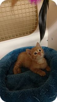 Domestic Shorthair Kitten for adoption in Tampa, Florida - Andy