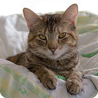 Domestic Shorthair Cat for adoption in Wilmington, Delaware - Valentina