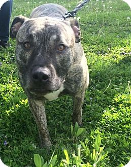 Pit Bull Terrier Mix Dog for adoption in Indianapolis, Indiana - Duke *bonded with Athena*