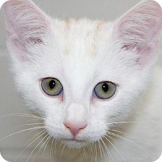 Domestic Shorthair Cat for adoption in Salem, Massachusetts - Mr. Candy