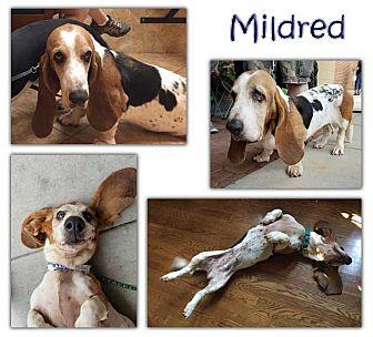 Basset Hound Dog for adoption in Marietta, Georgia - Mildred