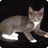 Adopt A Pet :: Angelica - Pasadena, CA