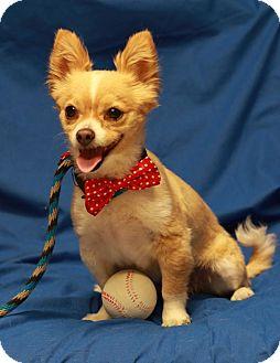 Chihuahua/Pomeranian Mix Dog for adoption in Twin Falls, Idaho - Holly