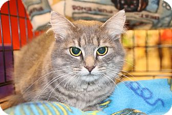 Domestic Shorthair Cat for adoption in Rochester, Minnesota - Pretty