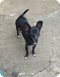 Dachshund/Chihuahua Mix Dog for adoption in Lodi, California - Nicky