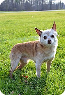 Chihuahua Dog for adoption in Michigan City, Indiana - Maxwell
