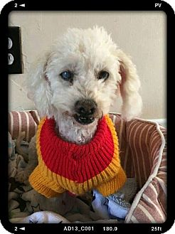 Poodle (Toy or Tea Cup) Dog for adoption in San Diego, California - Mimi