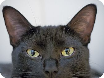 Bombay Cat for adoption in Los Angeles, California - Kanga
