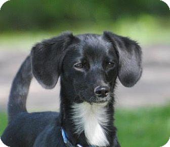 Dachshund Mix Dog for adoption in Olivet, Michigan - Belle