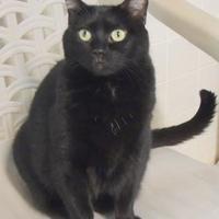 Adopt A Pet :: Little Champ - Westville, IN