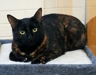 Colorpoint Shorthair/Domestic Shorthair Mix Cat for adoption in Nogales, Arizona - Bree