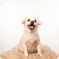 Chihuahua Mix Dog for adoption in Minneapolis, Minnesota - Dex