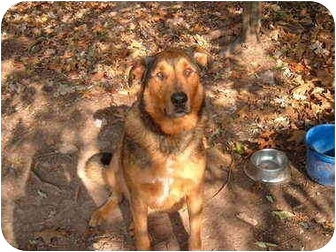 German Shepherd Dog/Collie Mix Dog for adoption in Bloomsburg, Pennsylvania - Derbin