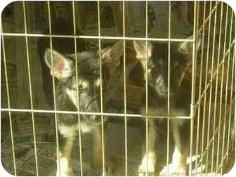 German Shepherd Dog/German Shepherd Dog Mix Puppy for adoption in Fowler, California - Cindy