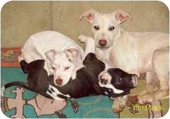 Labrador Retriever/German Shepherd Dog Mix Puppy for adoption in Sterling Heights, Michigan - Cyruss