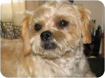 Brussels Griffon Mix Dog for adoption in Los Angeles, California - Freeway in San Mateo