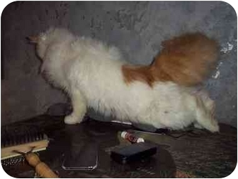 Turkish Angora Cat for adoption in all of, Connecticut - Aslan
