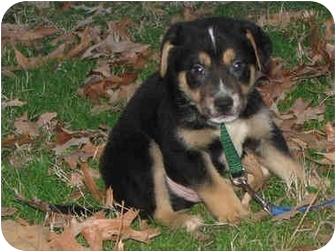 German Shepherd Dog/Border Collie Mix Puppy for adoption in Brattleboro, Vermont - Elliot
