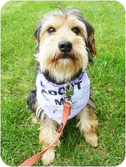 Terrier (Unknown Type, Small)/Yorkie, Yorkshire Terrier Mix Dog for adoption in Detroit, Michigan - Rudy-Pending!