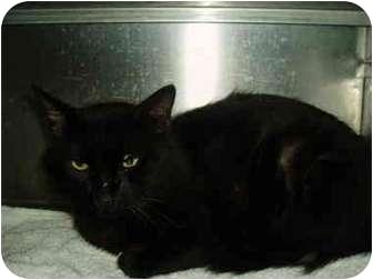 Domestic Shorthair Cat for adoption in El Cajon, California - Oscar