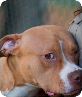 American Pit Bull Terrier/Boxer Mix Dog for adoption in Seattle, Washington - Petunia
