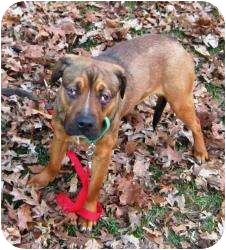 Labrador Retriever/Rottweiler Mix Dog for adoption in Bloomfield, Connecticut - Noel