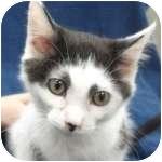 Domestic Shorthair Kitten for adoption in Wheaton, Illinois - Daisy