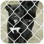Photo 2 - Belgian Shepherd/Labrador Retriever Mix Puppy for adoption in Ripley, Tennessee - Pocket Pups *FREE* (150-7)