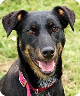 Doberman Pinscher/Australian Cattle Dog Mix Puppy for adoption in Aurora, Indiana - Lily