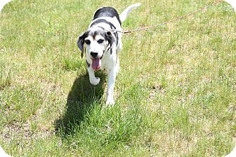 Beagle Mix Dog for adoption in Medfield, Massachusetts - Louis