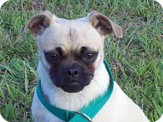 Pug Mix Dog for adoption in Beacon, New York - Lex