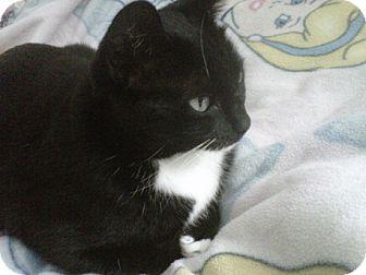 Domestic Shorthair Cat for adoption in Laguna Woods, California - Sicily