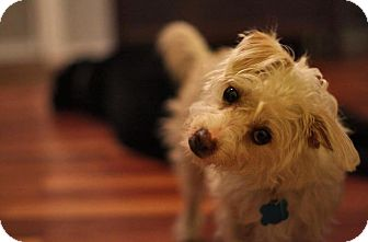 Poodle (Miniature)/Terrier (Unknown Type, Small) Mix Dog for adoption in Los Angeles, California - Mabel