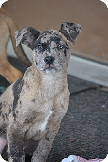 Catahoula Leopard Dog/Mountain Cur Mix Puppy for adoption in Webster, Minnesota - Blake Shelton