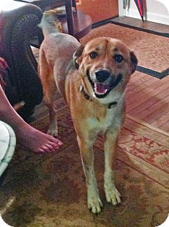 Collie Mix Dog for adoption in Manhasset, New York - Scout