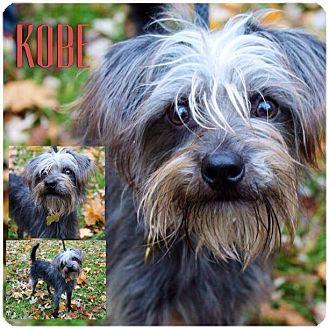 Schnauzer (Miniature)/Yorkie, Yorkshire Terrier Mix Dog for adoption in Garden City, Michigan - Kobe