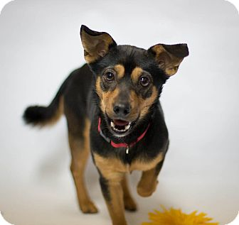 Miniature Pinscher Mix Dog for adoption in Chester, Maryland - Elvis