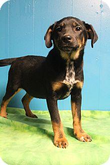 German Shepherd Dog/Schnauzer (Standard) Mix Puppy for adoption in Hagerstown, Maryland - Tumble