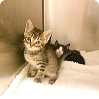 Adopt A Pet :: Fache [pronounced Fachay] - Maywood, NJ