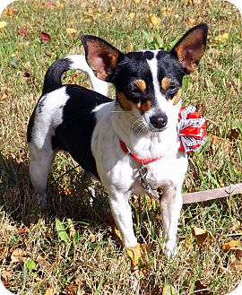 Rat Terrier/Chihuahua Mix Dog for adoption in San Leon, Texas - Autumn