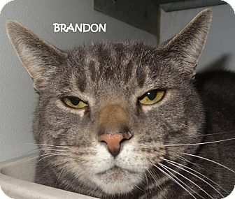Domestic Shorthair Cat for adoption in Lapeer, Michigan - BRANDON--SWEET GRAY BOY!