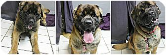 St. Bernard/Mastiff Mix Dog for adoption in Forked River, New Jersey - Bear