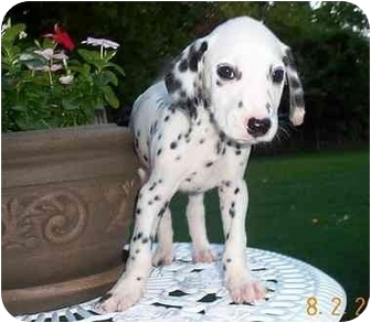 Dalmatian Puppy for adoption in League City, Texas - Fletcher