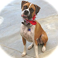 Boxer Dog for adoption in Los Angeles, California - Good-looking Rico-VIDEO