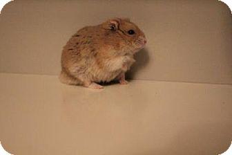 Hamster for adoption in Edmonton, Alberta - Roosevelt