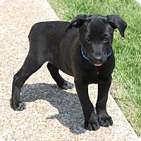 Adopt A Pet :: *Gwen - PENDING - Westport, CT