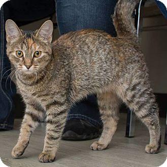 Domestic Shorthair Kitten for adoption in Edmonton, Alberta - Ellie 2